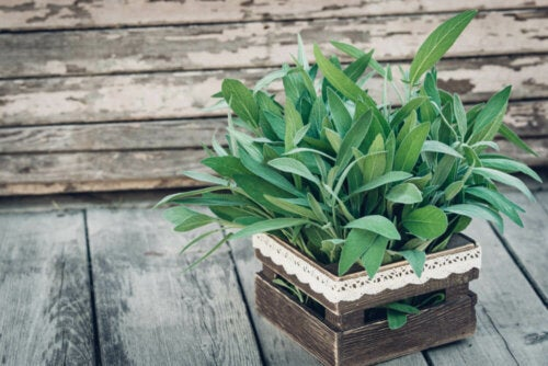 A sage plant in a wooden box.
