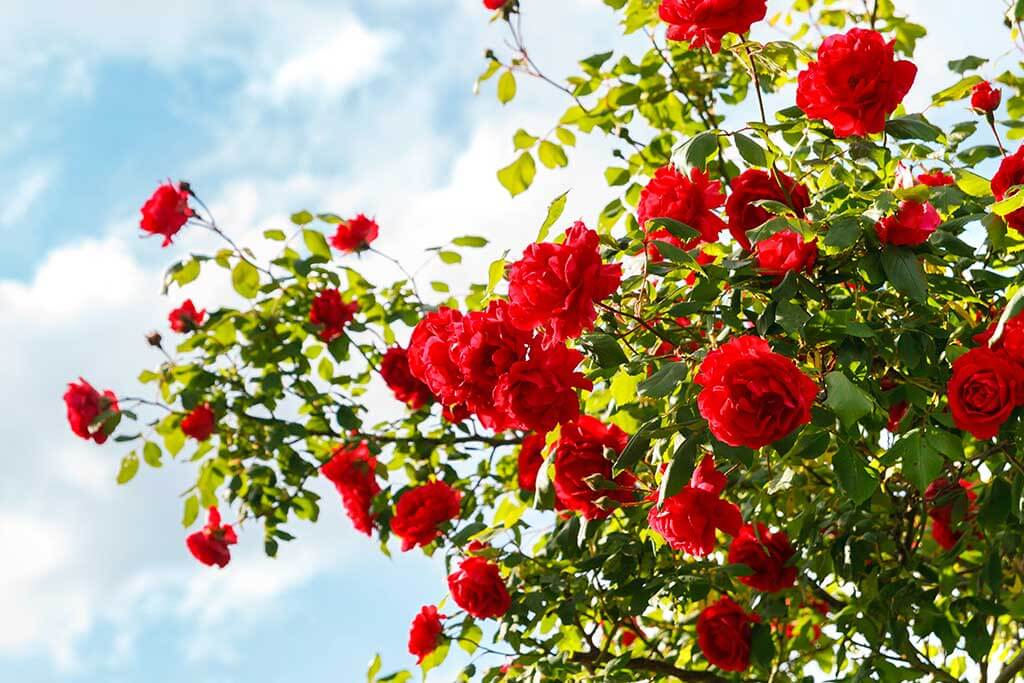Guide to Growing and Caring For Your Own Roses