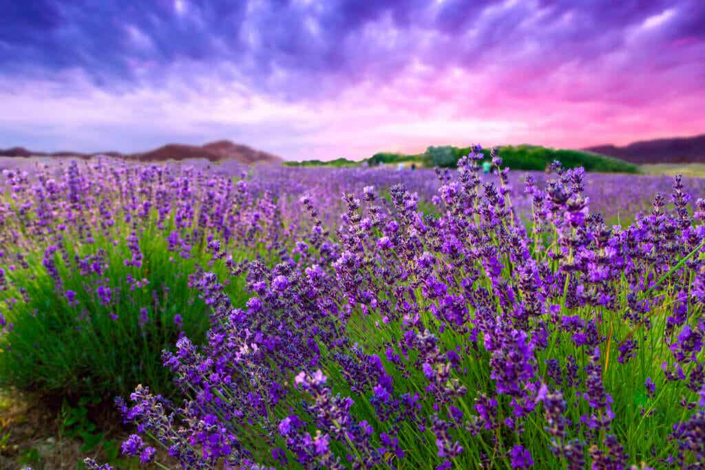 Do You Like Lavender? Learn How to Take Care of it