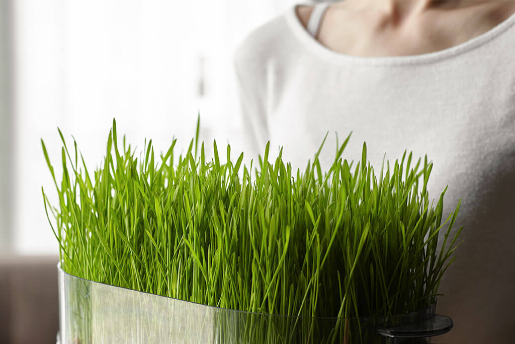 Using Wheatgrass for a Natural Decor