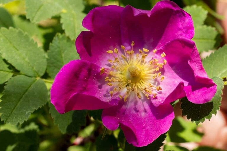 Rosehip: A Wild Rose With Great Benefits